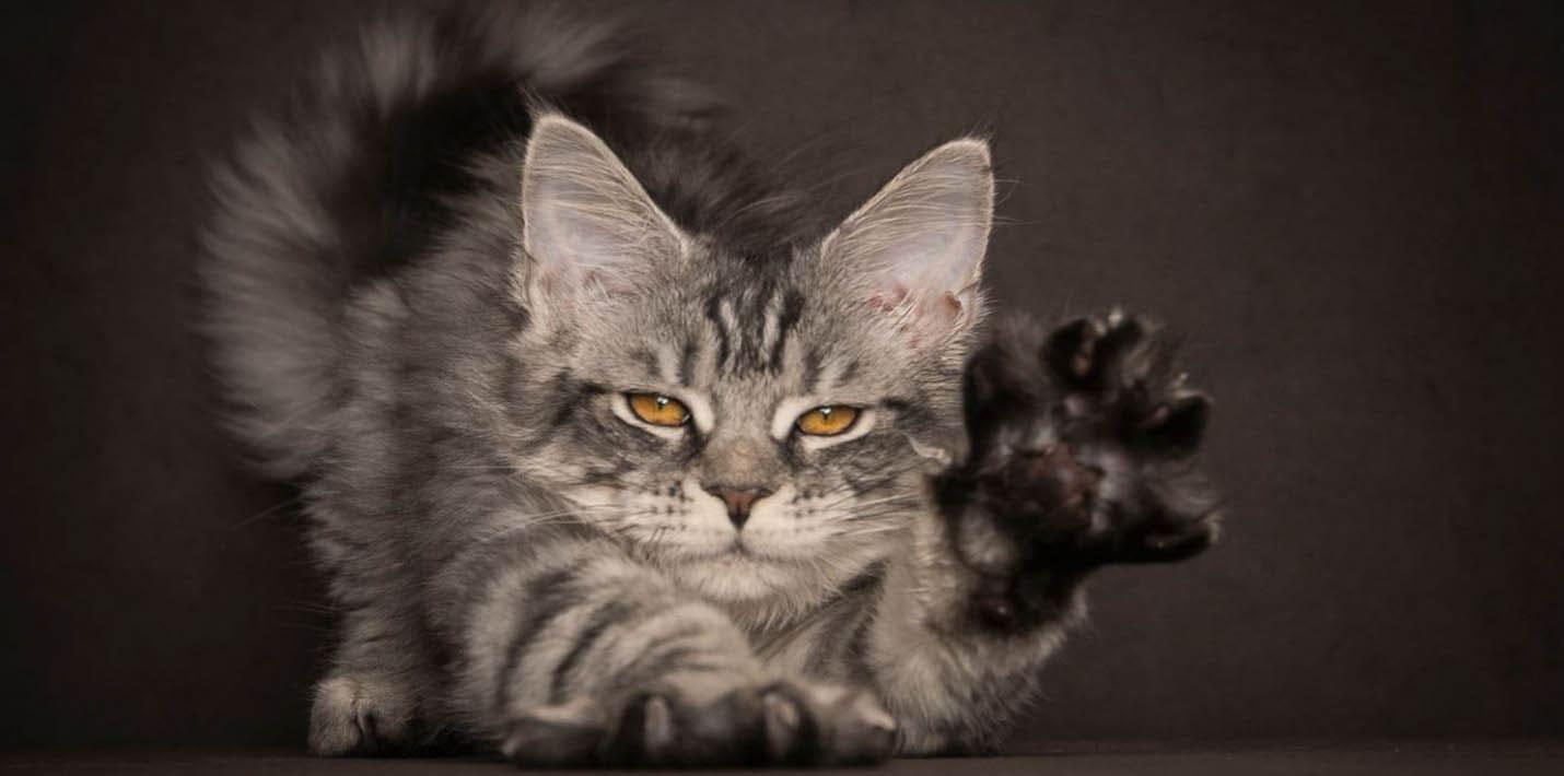 Кошачья художественная гимнастика