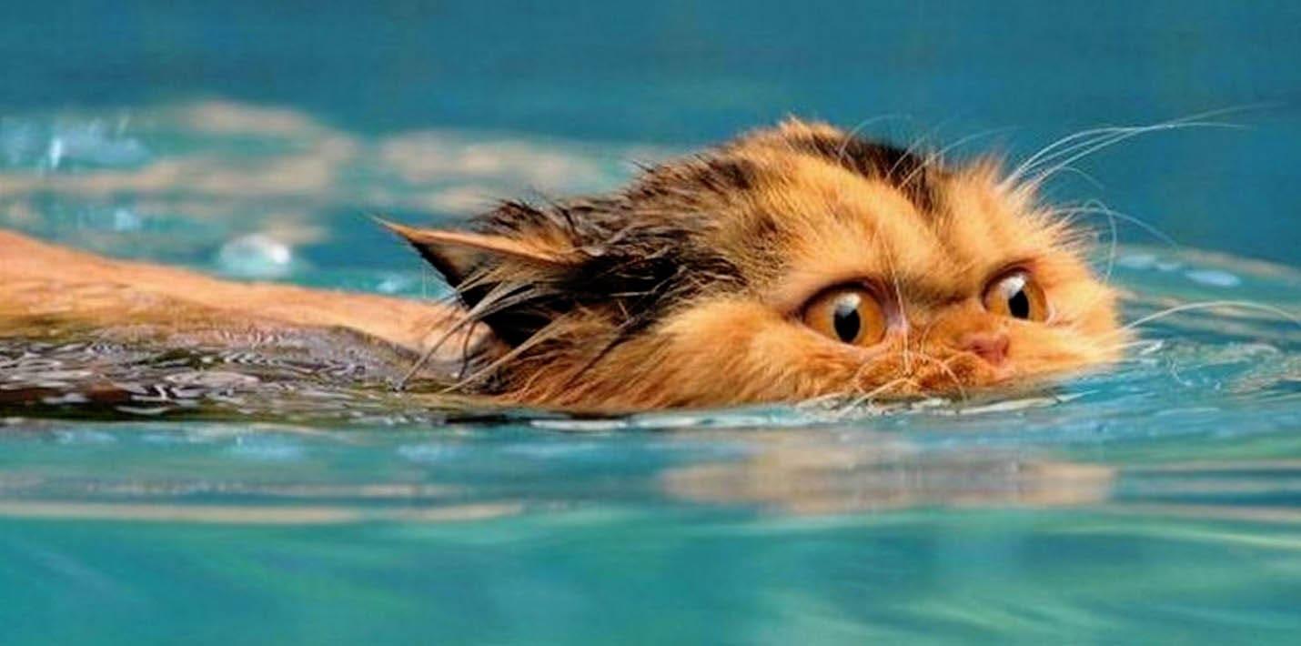 Кошки плавают