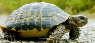 Черепаха-оракул